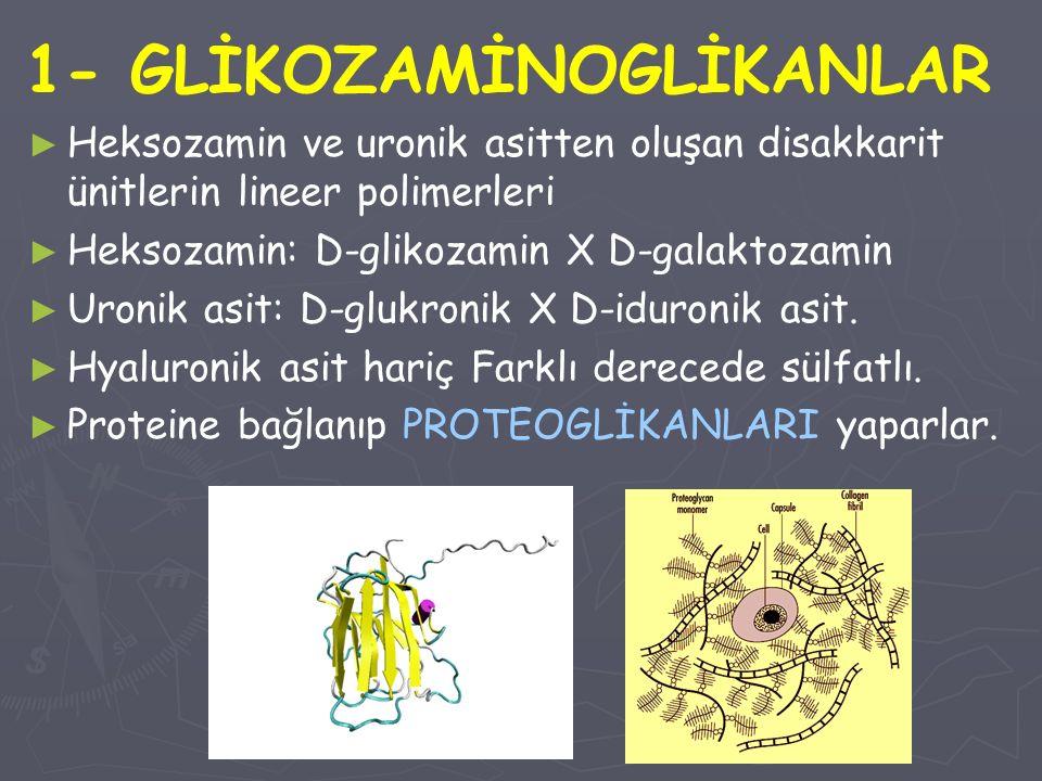 1- GLİKOZAMİNOGLİKANLAR ► ► Heksozamin ve uronik asitten oluşan disakkarit ünitlerin lineer polimerleri ► ► Heksozamin: D-glikozamin X D-galaktozamin