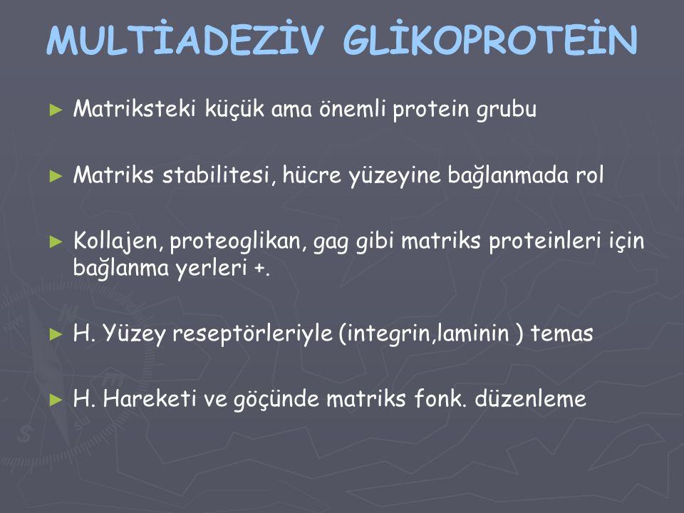 MULTİADEZİV GLİKOPROTEİN ► ► Matriksteki küçük ama önemli protein grubu ► ► Matriks stabilitesi, hücre yüzeyine bağlanmada rol ► ► Kollajen, proteogli