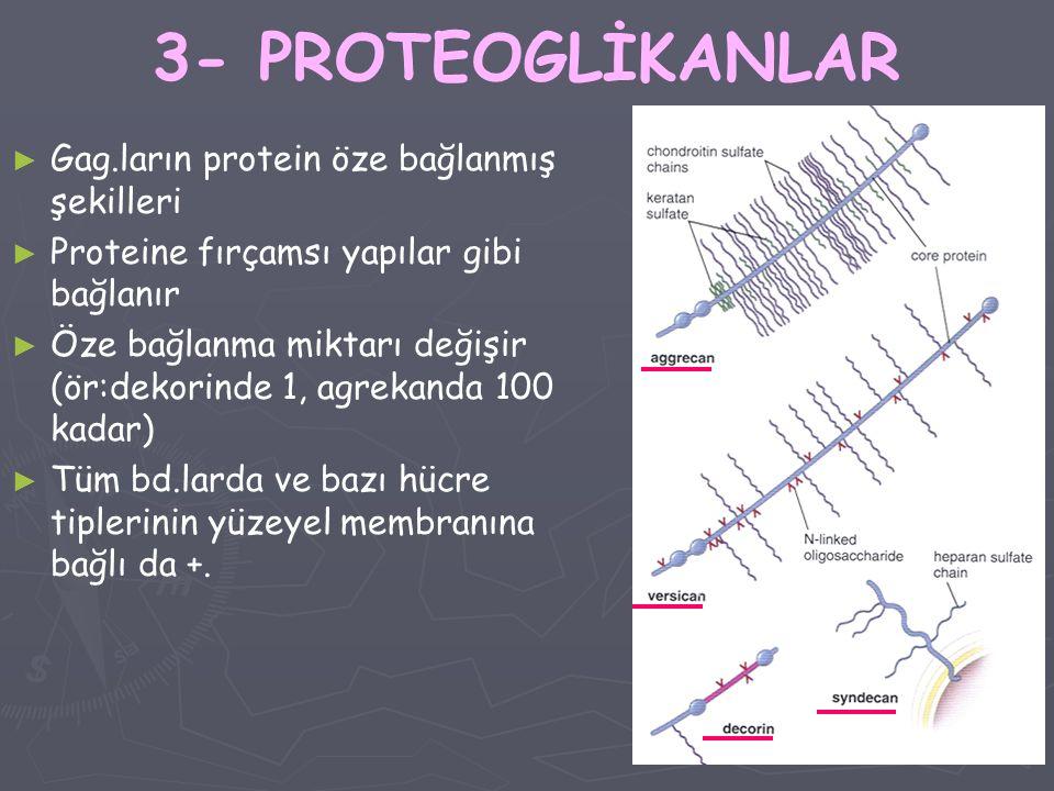 3- PROTEOGLİKANLAR ► ► Gag.ların protein öze bağlanmış şekilleri ► ► Proteine fırçamsı yapılar gibi bağlanır ► ► Öze bağlanma miktarı değişir (ör:deko