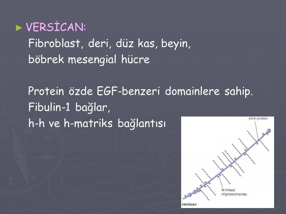 ► ► VERSİCAN: Fibroblast, deri, düz kas, beyin, böbrek mesengial hücre Protein özde EGF-benzeri domainlere sahip. Fibulin-1 bağlar, h-h ve h-matriks b