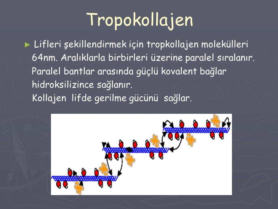 Tropokollajen ► ► Lifleri şekillendirmek için tropkollajen molekülleri 64nm. Aralıklarla birbirleri üzerine paralel sıralanır. Paralel bantlar arasınd