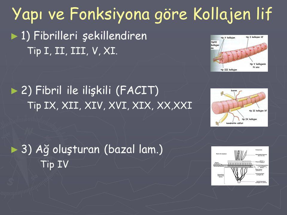 Yapı ve Fonksiyona göre Kollajen lif ► ► 1) Fibrilleri şekillendiren Tip I, II, III, V, XI. ► ► 2) Fibril ile ilişkili (FACIT) Tip IX, XII, XIV, XVI,