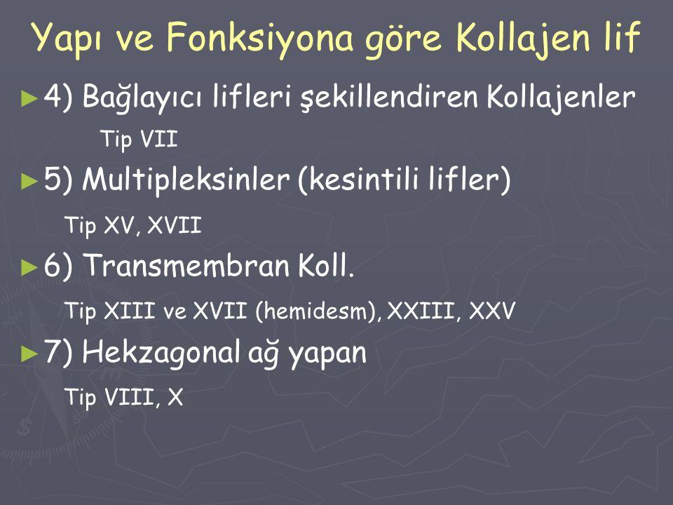 Yapı ve Fonksiyona göre Kollajen lif ► ► 4) Bağlayıcı lifleri şekillendiren Kollajenler Tip VII ► ► 5) Multipleksinler (kesintili lifler) Tip XV, XVII