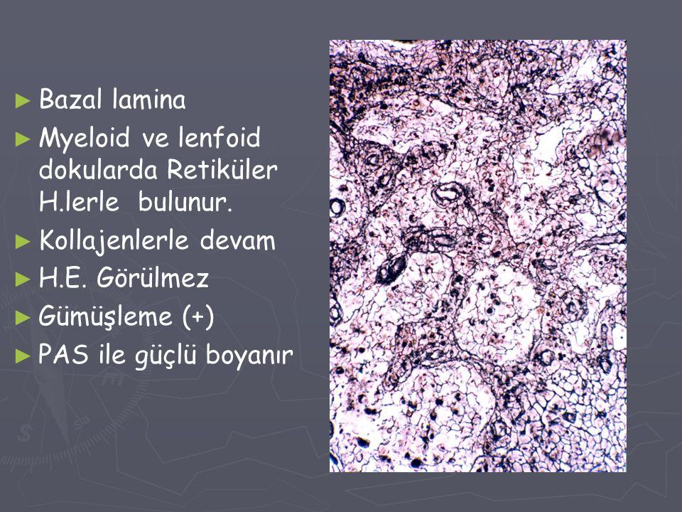 ► ► Bazal lamina ► ► Myeloid ve lenfoid dokularda Retiküler H.lerle bulunur. ► ► Kollajenlerle devam ► ► H.E. Görülmez ► ► Gümüşleme (+) ► ► PAS ile g