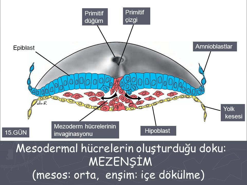 Primitif düğüm Primitif çizgi Amnioblastlar Yolk kesesi Hipoblast Mezoderm hücrelerinin invaginasyonu 15.GÜN Mesodermal hücrelerin oluşturduğu doku: M