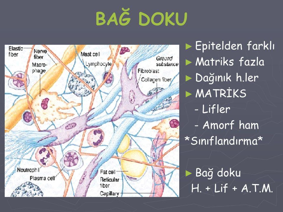 BAĞ DOKU ► Epitelden farklı ► Matriks fazla ► Dağınık h.ler ► MATRİKS - Lifler - Amorf ham *Sınıflandırma* ► Bağ doku H. + Lif + A.T.M.