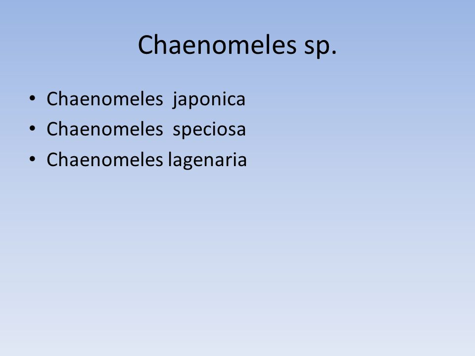 Chaenomeles sp. Chaenomeles japonica Chaenomeles speciosa Chaenomeles lagenaria