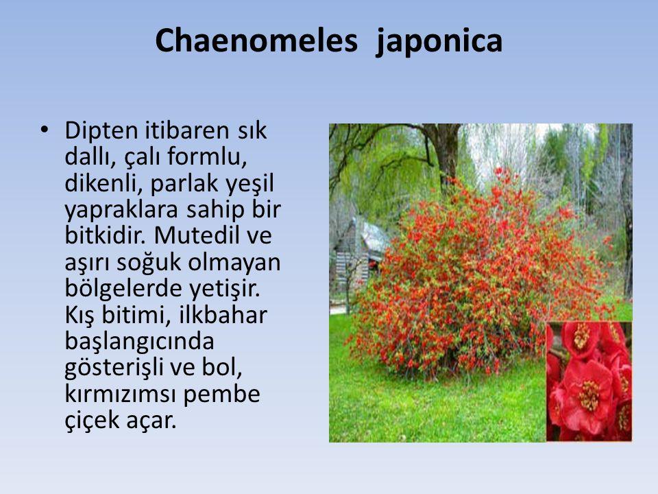 Chaenomeles japonica Dipten itibaren sık dallı, çalı formlu, dikenli, parlak yeşil yapraklara sahip bir bitkidir.