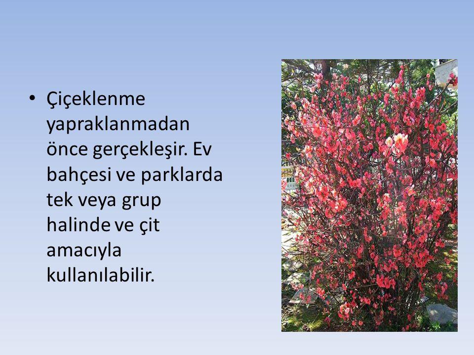 Çiçeklenme yapraklanmadan önce gerçekleşir. Ev bahçesi ve parklarda tek veya grup halinde ve çit amacıyla kullanılabilir.