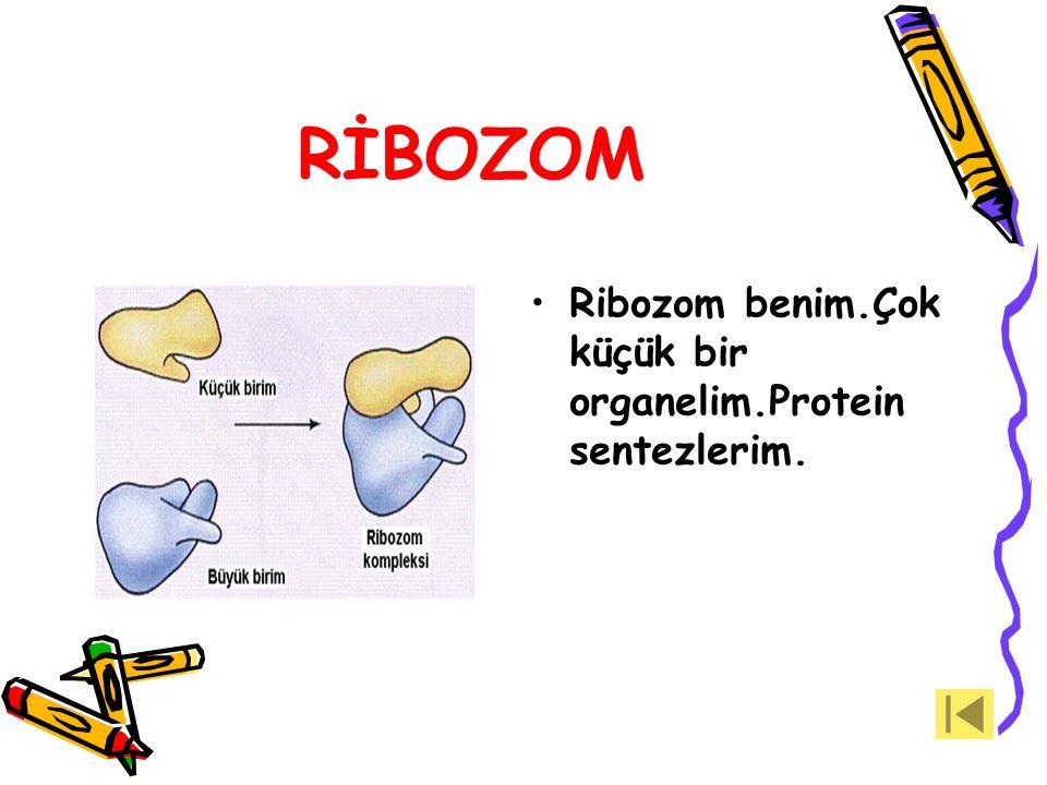 LİZOZOM Hücrenin sindirim sistemiyim.Lizozom zarı yırtılırsa sindirim enzimlerimle kendimi yok ederim.