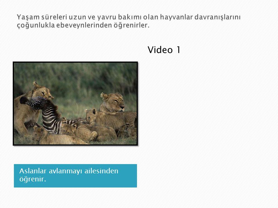 Aslanlar avlanmayı ailesinden öğrenir. Video 1