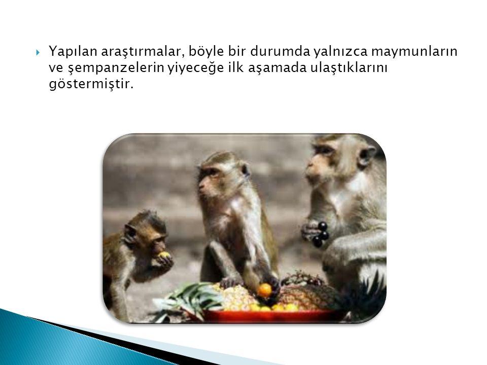  Yapılan araştırmalar, böyle bir durumda yalnızca maymunların ve şempanzelerin yiyeceğe ilk aşamada ulaştıklarını göstermiştir.