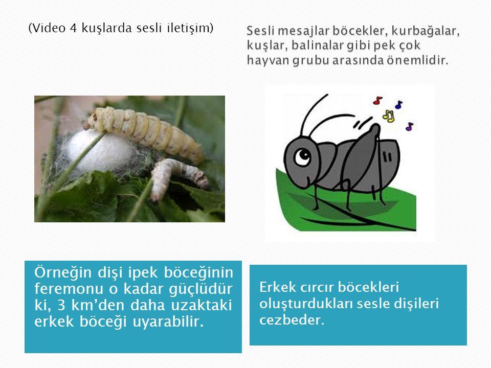 Örneğin dişi ipek böceğinin feremonu o kadar güçlüdür ki, 3 km'den daha uzaktaki erkek böceği uyarabilir. Erkek cırcır böcekleri oluşturdukları sesle