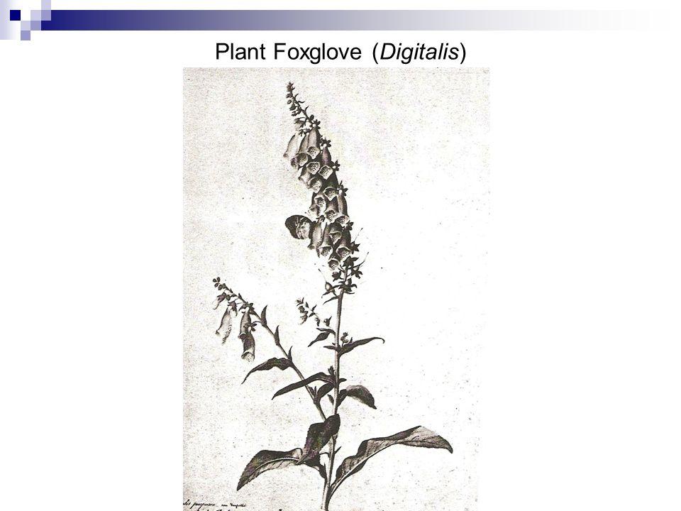 Plant Foxglove (Digitalis)