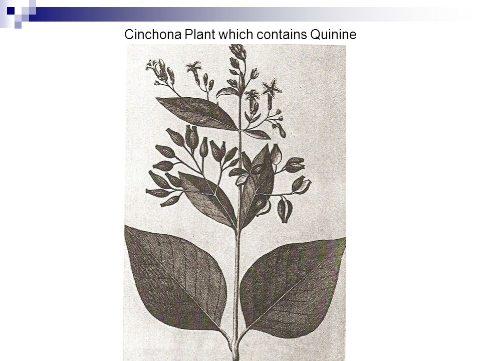 Cinchona Plant which contains Quinine
