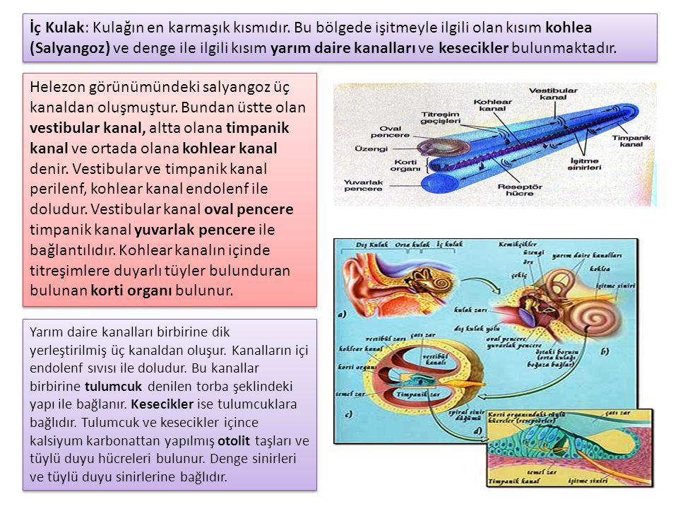 Helezon görünümündeki salyangoz üç kanaldan oluşmuştur.