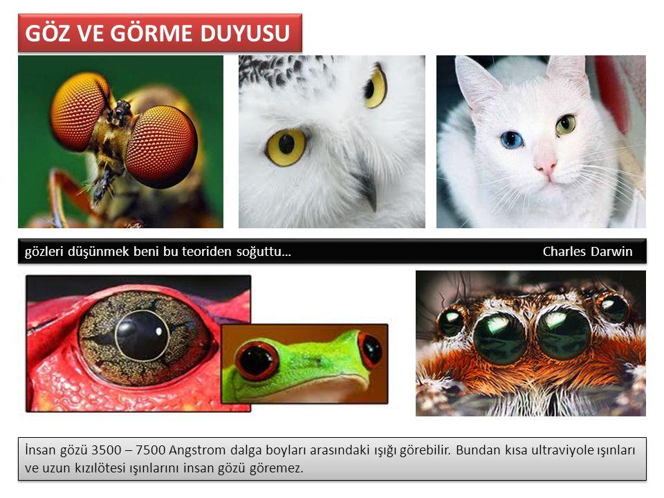 Sert Tabaka (Sklera) : Göz yuvarlağını dıştan saran beyaz bağ dokudan oluşmuş sert bir tabakadır.