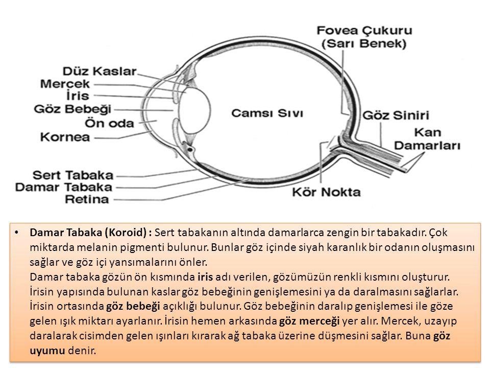 KULAK VE İŞİTME DUYUSU Dış Kulak: Kulak kepçesi, Dış kulak yolu ve kulak zarı bulunur.