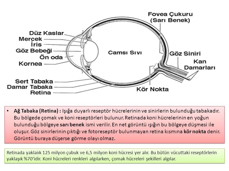 Ağ Tabaka (Retina) : Işığa duyarlı reseptör hücrelerinin ve sinirlerin bulunduğu tabakadır.