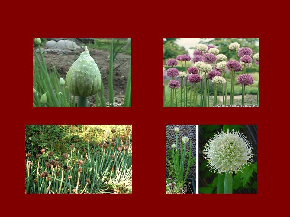 ilk çiçeklenme gösteren üstteki grup çiçekler, ilk meyve ve tohumları da oluştururlar, bu nedenle bir çiçek demeti üzerindeki tohumların hepsi aynı anda olgunlaşmazlar.
