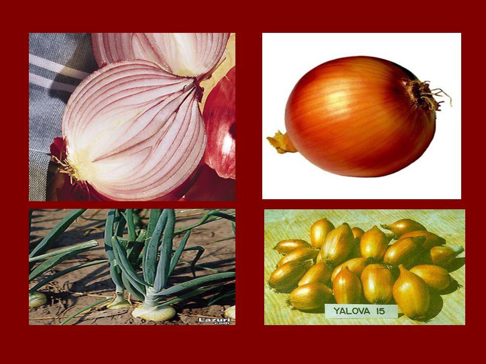 Allium cepa dünya üzerinde oldukça geniş bir çeşit zenginliğine sahiptir.