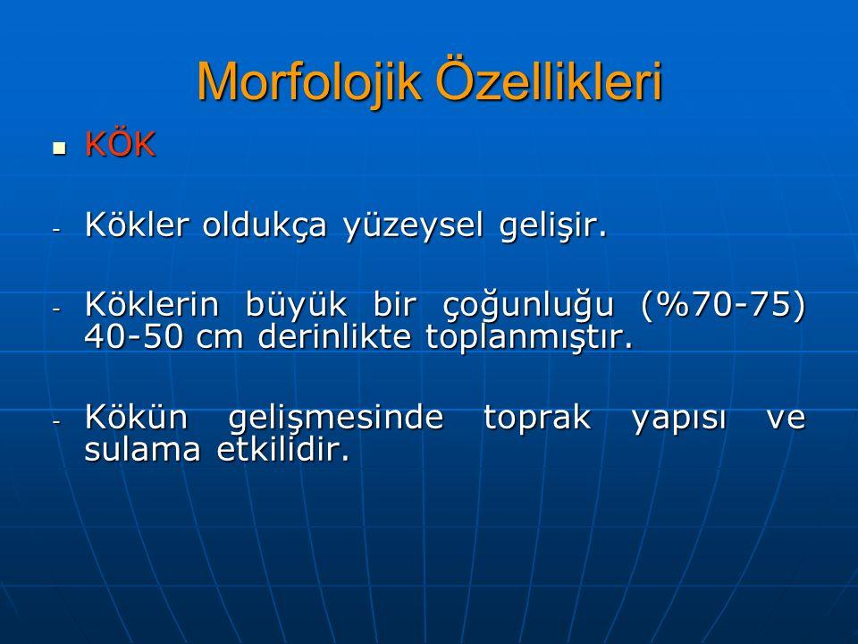 Morfolojik Özellikleri KÖK KÖK - Kökler oldukça yüzeysel gelişir.