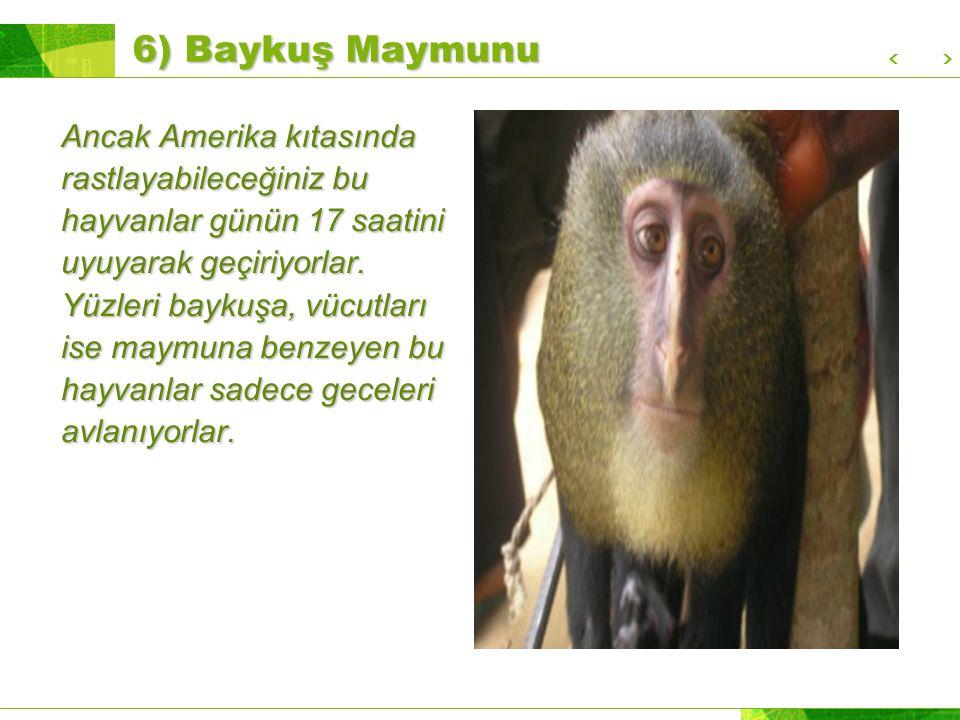 6) Baykuş Maymunu Ancak Amerika kıtasında rastlayabileceğiniz bu hayvanlar günün 17 saatini uyuyarak geçiriyorlar.