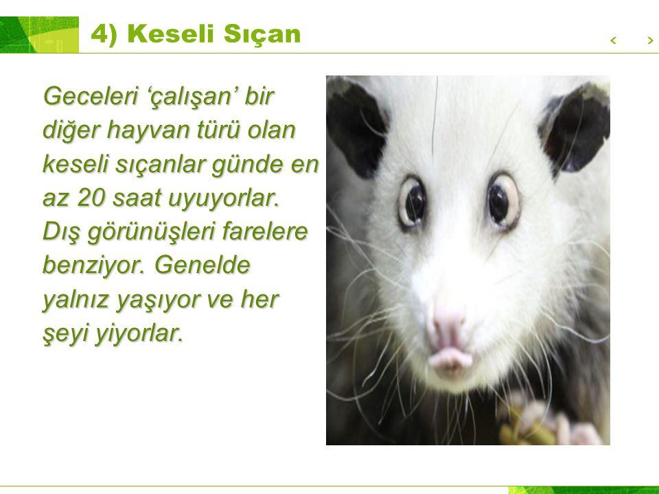4) Keseli Sıçan Geceleri 'çalışan' bir diğer hayvan türü olan keseli sıçanlar günde en az 20 saat uyuyorlar.