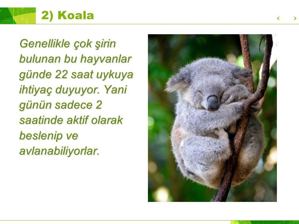 2) Koala Genellikle çok şirin bulunan bu hayvanlar günde 22 saat uykuya ihtiyaç duyuyor.
