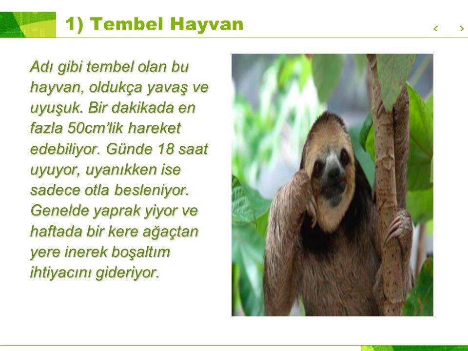 1) Tembel Hayvan Adı gibi tembel olan bu hayvan, oldukça yavaş ve uyuşuk.