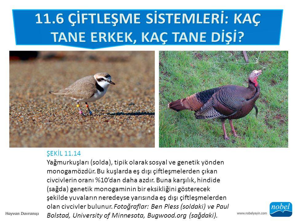 ŞEKİL 11.14 Yağmurkuşları (solda), tipik olarak sosyal ve genetik yönden monogamözdür.