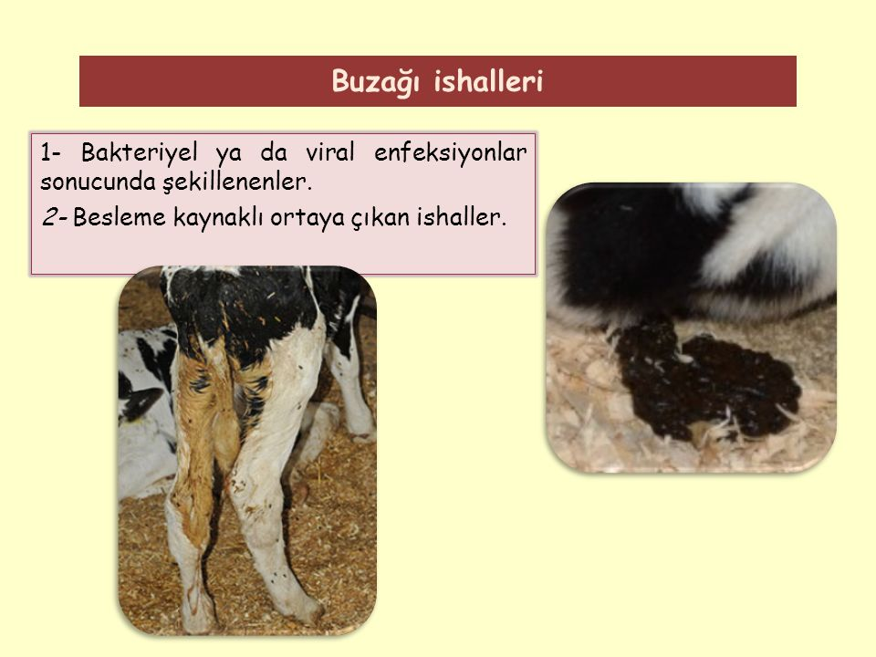 Buzağı ishalleri 1- Bakteriyel ya da viral enfeksiyonlar sonucunda şekillenenler.