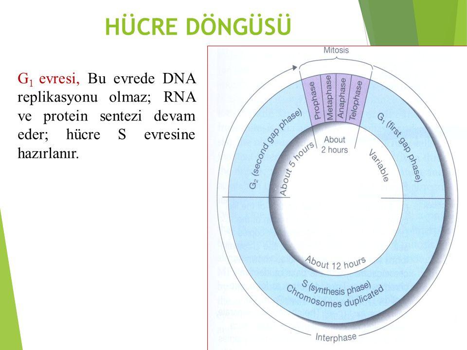 HÜCRE DÖNGÜSÜ G 1 evresi, Bu evrede DNA replikasyonu olmaz; RNA ve protein sentezi devam eder; hücre S evresine hazırlanır.