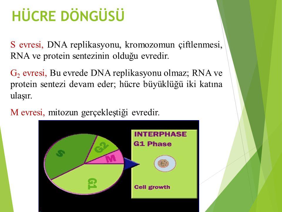 HÜCRE DÖNGÜSÜ S evresi, DNA replikasyonu, kromozomun çiftlenmesi, RNA ve protein sentezinin olduğu evredir. G 2 evresi, Bu evrede DNA replikasyonu olm