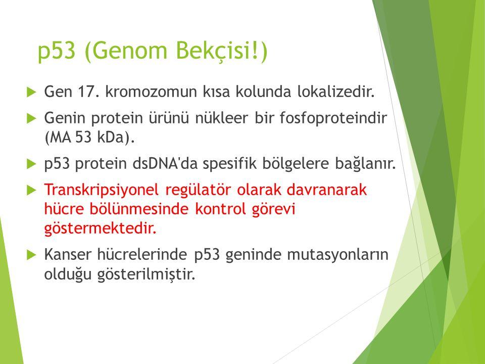p53 (Genom Bekçisi!)  Gen 17. kromozomun kısa kolunda lokalizedir.  Genin protein ürünü nükleer bir fosfoproteindir (MA 53 kDa).  p53 protein dsDNA