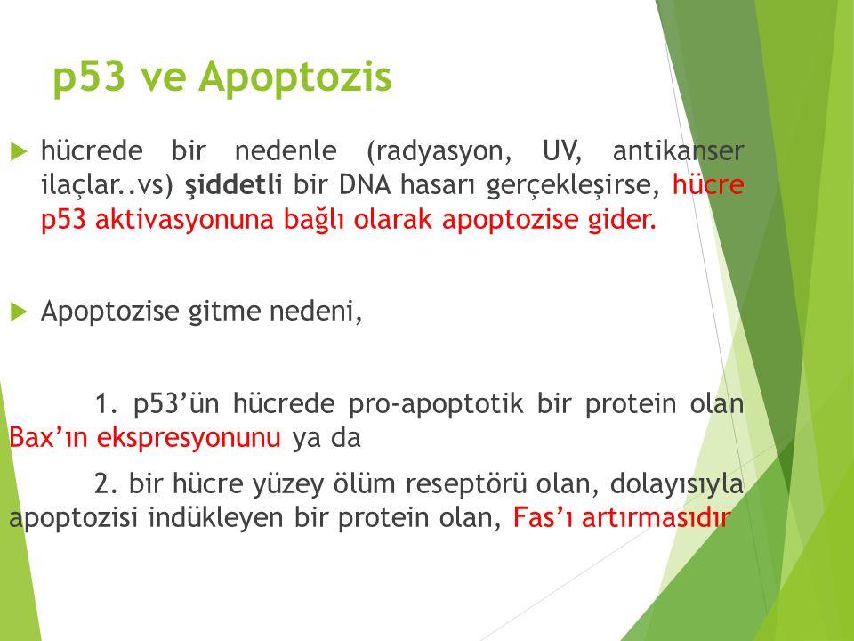 p53 ve Apoptozis  hücrede bir nedenle (radyasyon, UV, antikanser ilaçlar..vs) şiddetli bir DNA hasarı gerçekleşirse, hücre p53 aktivasyonuna bağlı ol