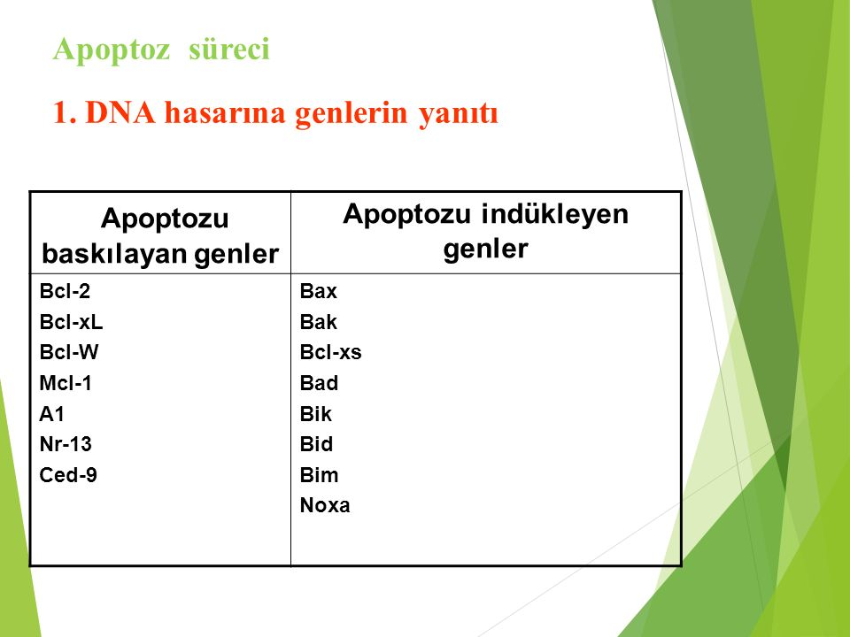 Apoptozu baskılayan genler Apoptozu indükleyen genler Bcl-2 Bcl-xL Bcl-W Mcl-1 A1 Nr-13 Ced-9 Bax Bak Bcl-xs Bad Bik Bid Bim Noxa Apoptoz süreci 1. DN
