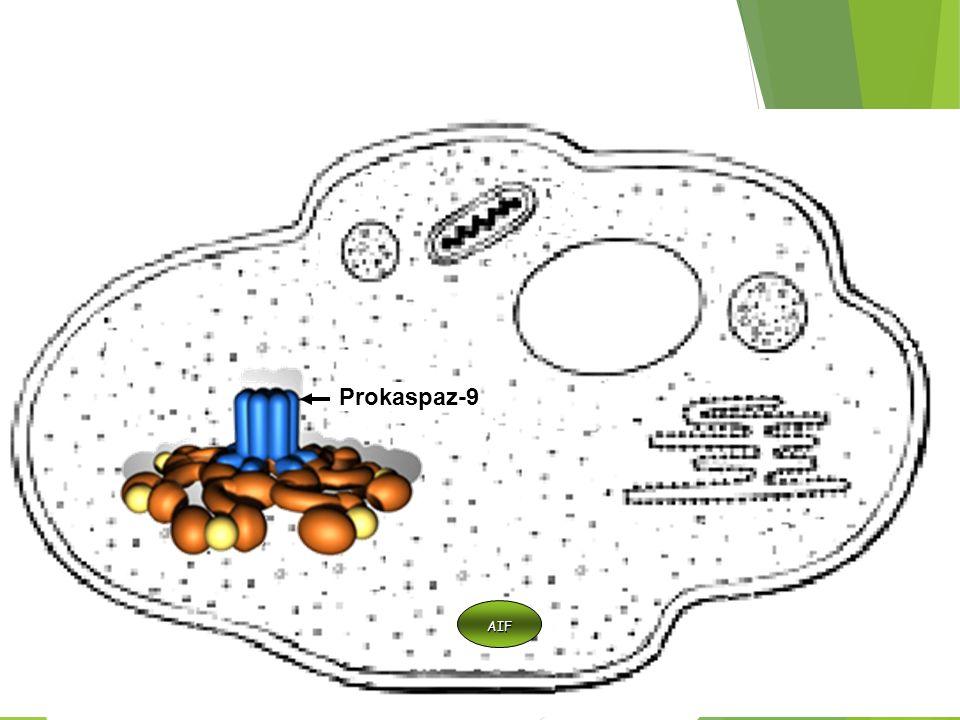 Mitokondri Prokaspaz-9 AIF
