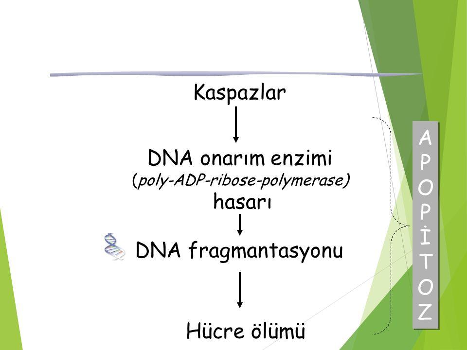 Kaspazlar APOPİTOZAPOPİTOZ APOPİTOZAPOPİTOZ DNA onarım enzimi (poly-ADP-ribose-polymerase) hasarı Hücre ölümü DNA fragmantasyonu
