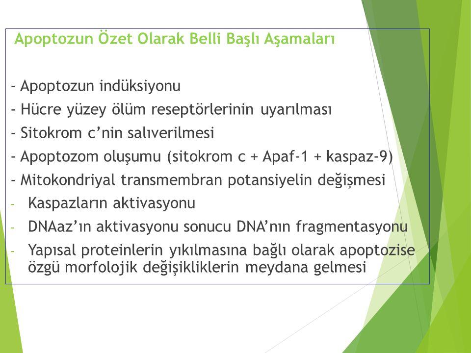 Apoptozun Özet Olarak Belli Başlı Aşamaları - Apoptozun indüksiyonu - Hücre yüzey ölüm reseptörlerinin uyarılması - Sitokrom c'nin salıverilmesi - Apo