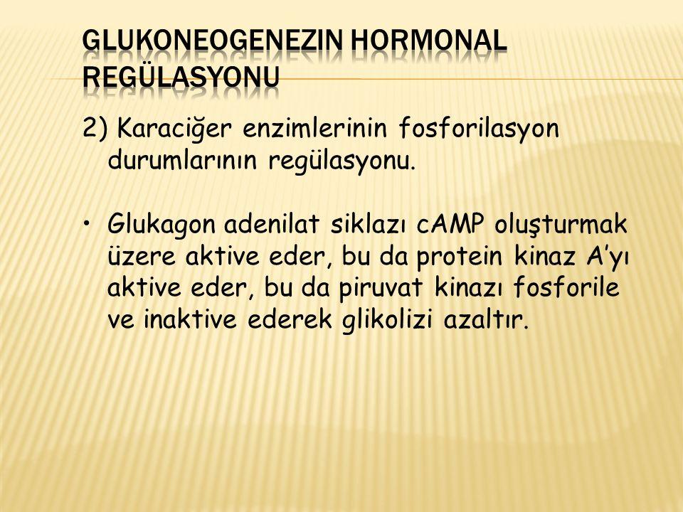 2) Karaciğer enzimlerinin fosforilasyon durumlarının regülasyonu. Glukagon adenilat siklazı cAMP oluşturmak üzere aktive eder, bu da protein kinaz A'y