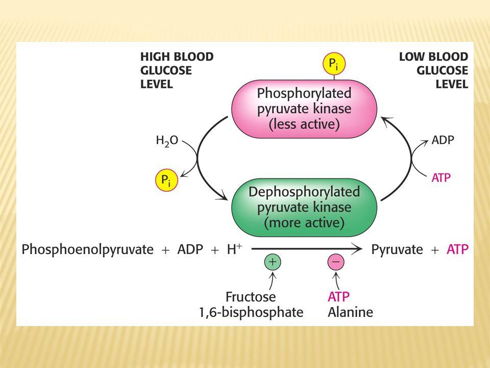 3) Glukagon ve insulin anahtar enzimlerin sentezini indükleyip baskılayarak uzun evreli etkilere yol açarlar.