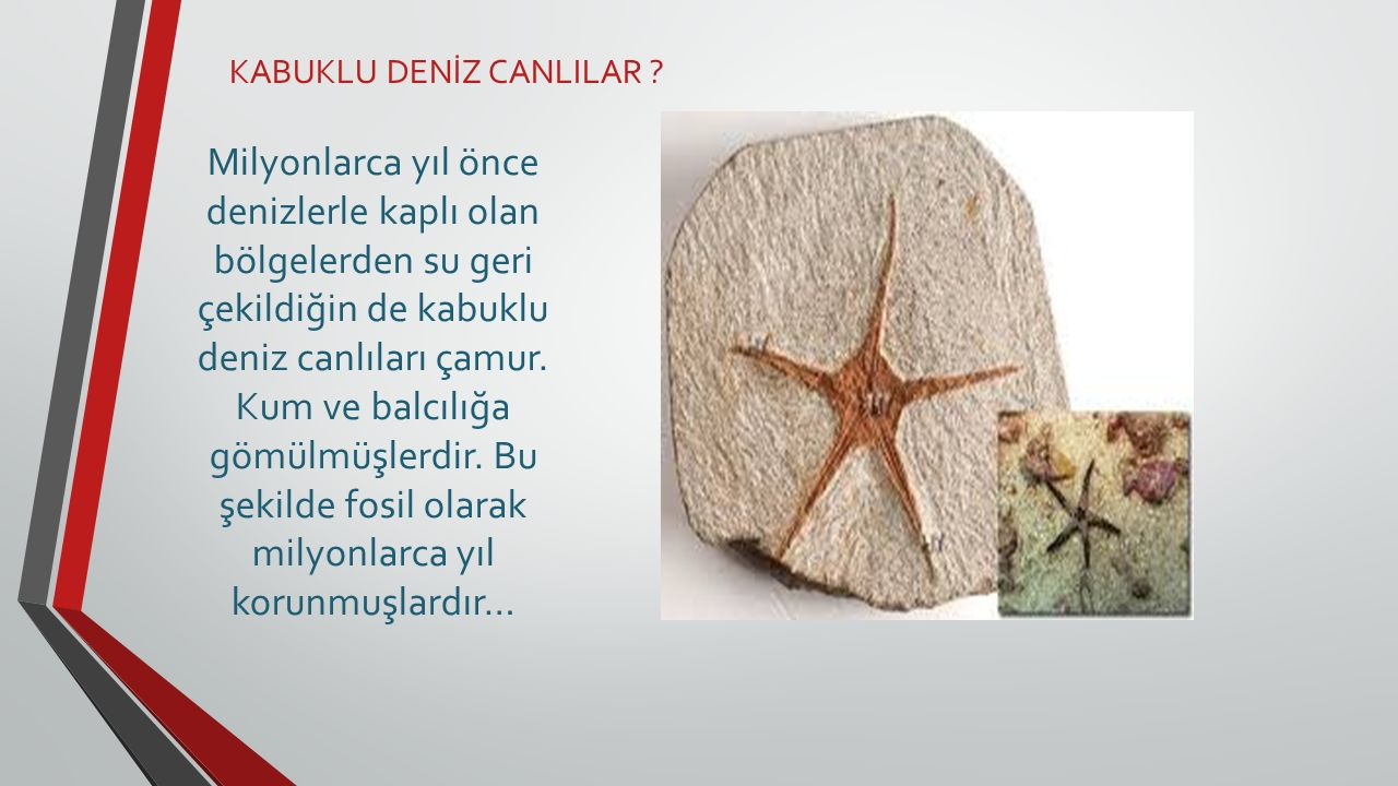 KABUKLU DENİZ CANLILAR .