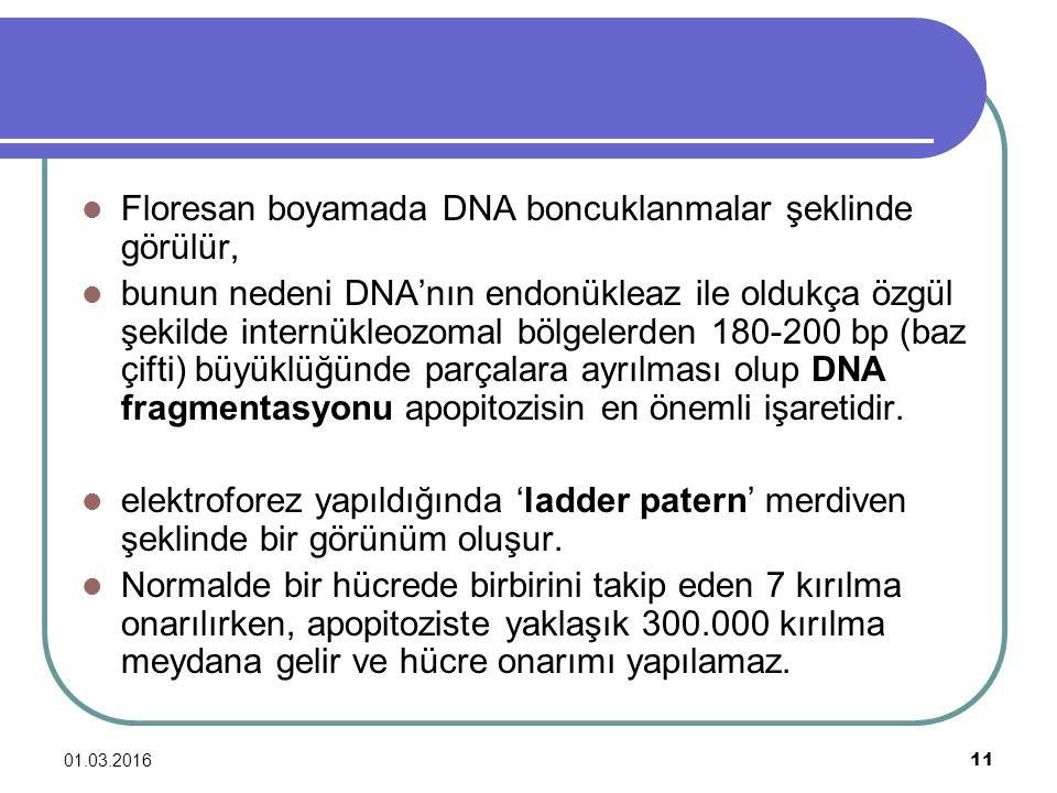 01.03.2016 11 Floresan boyamada DNA boncuklanmalar şeklinde görülür, bunun nedeni DNA'nın endonükleaz ile oldukça özgül şekilde internükleozomal bölge