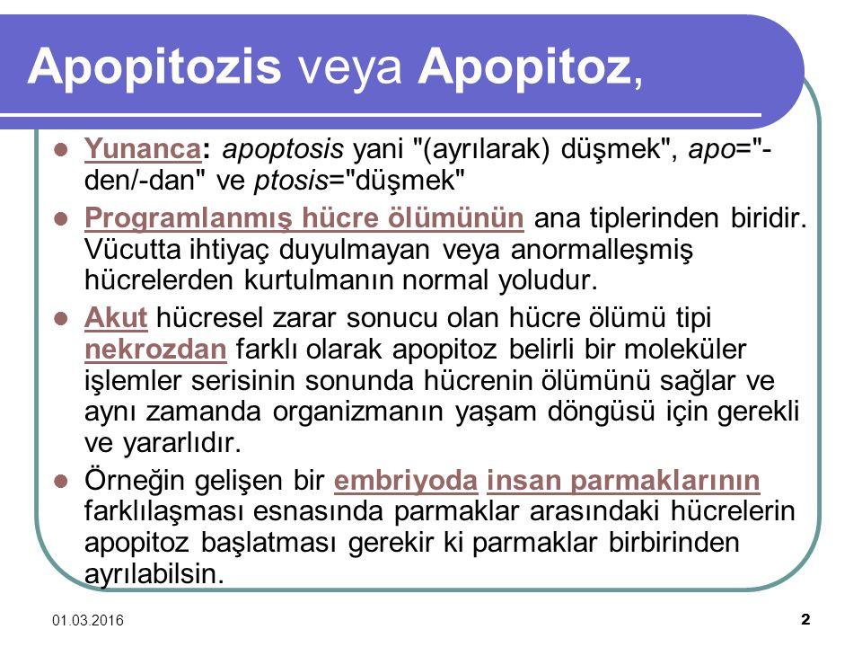 01.03.2016 3 Apopitozis örnekleri: Kemik iliğinden sürekli olarak hücre üretimi devam ederken, günde yaklaşık 5x10 11 kan hücresi apoptozis yolu ile yok edilmektedir.