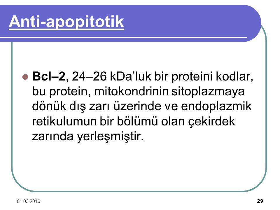 01.03.2016 29 Anti-apopitotik Bcl–2, 24–26 kDa'luk bir proteini kodlar, bu protein, mitokondrinin sitoplazmaya dönük dış zarı üzerinde ve endoplazmik