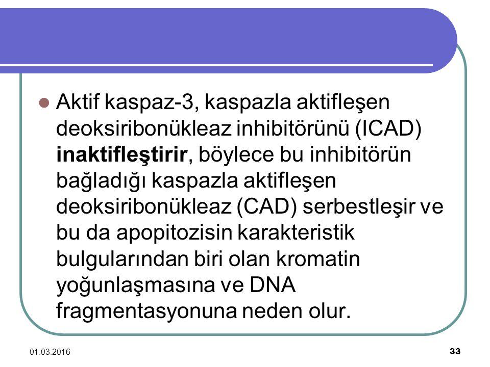 01.03.2016 33 Aktif kaspaz-3, kaspazla aktifleşen deoksiribonükleaz inhibitörünü (ICAD) inaktifleştirir, böylece bu inhibitörün bağladığı kaspazla akt