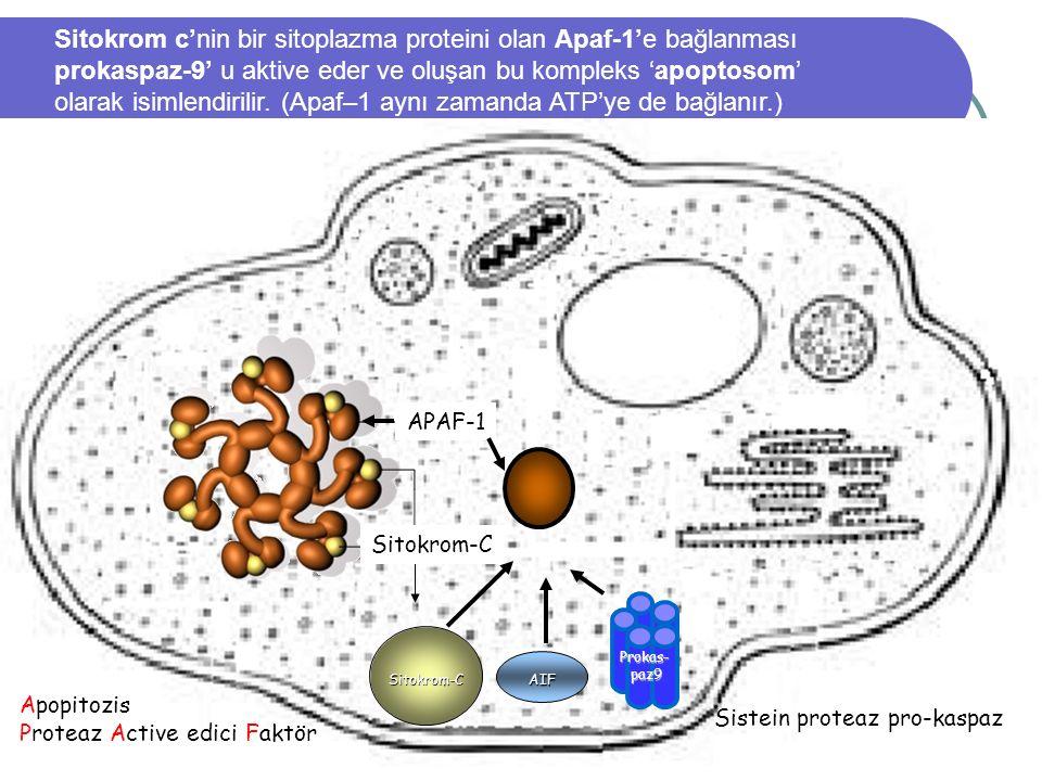 01.03.2016 35 Mitokondri AIF Sistein proteaz pro-kaspaz Apopitozis Proteaz Active edici Faktör Sitokrom-C Prokas-paz9 APAF-1 Sitokrom-C Sitokrom c'nin