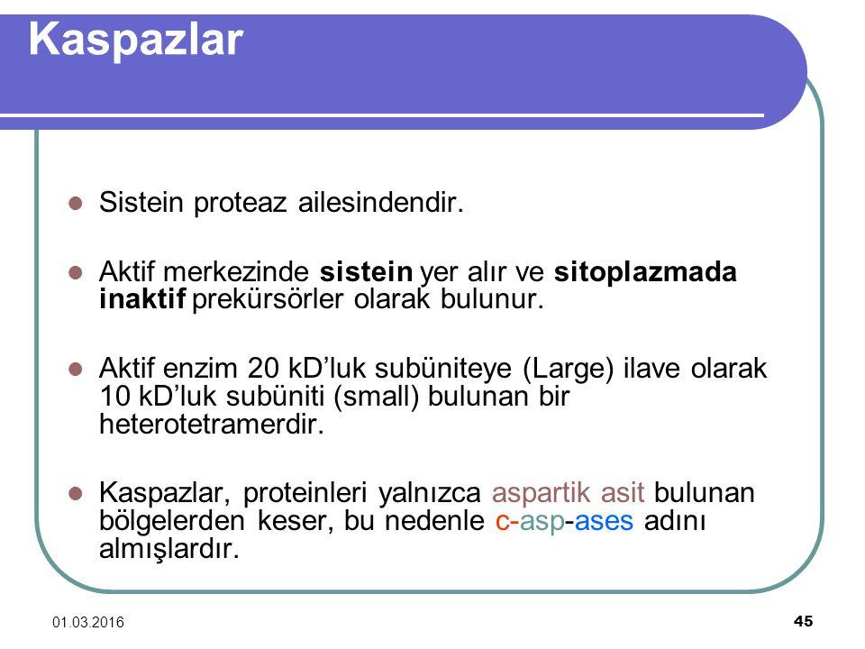 01.03.2016 45 Kaspazlar Sistein proteaz ailesindendir. Aktif merkezinde sistein yer alır ve sitoplazmada inaktif prekürsörler olarak bulunur. Aktif en