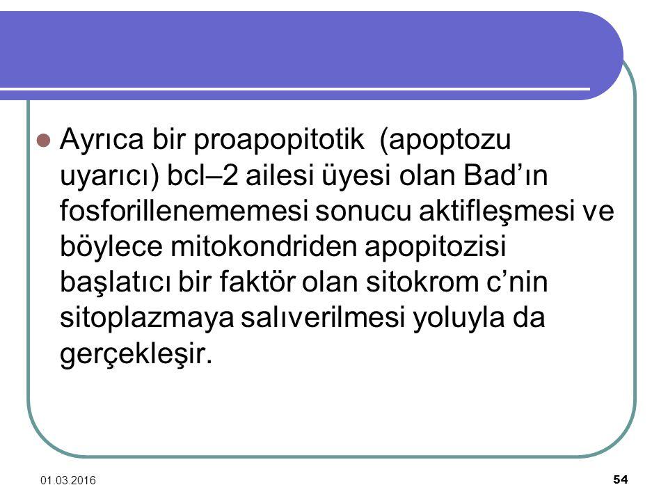 01.03.2016 54 Ayrıca bir proapopitotik (apoptozu uyarıcı) bcl–2 ailesi üyesi olan Bad'ın fosforillenememesi sonucu aktifleşmesi ve böylece mitokondrid